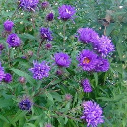 ASTER n.a. 'Christopher Harbutt'