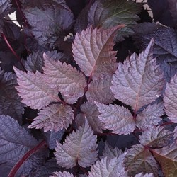 ASTILBE 'Chocolate Shogun'®