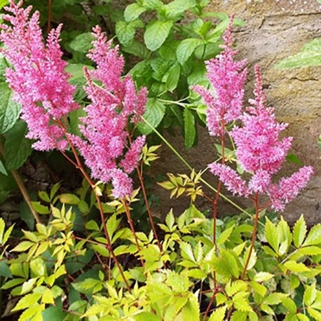 ASTILBE 'Beauty of Lisse'®
