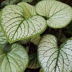 BRUNNERA mac. 'Silver Heart'®