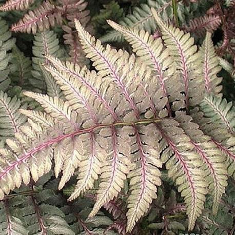 ATHYRIUM niponicum var.pictum