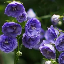 CAMPANULA pers. 'La Belle Blue'®