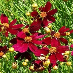 COREOPSIS 'Red Satin'®