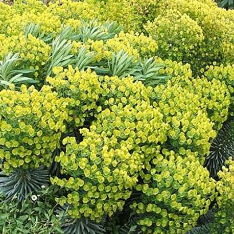 EUPHORBIA ch. ssp. wulfenii