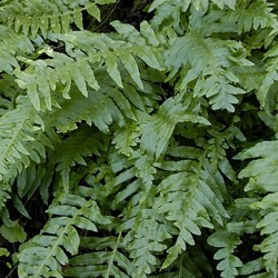 POLYPODIUM 'Whitley Geant'