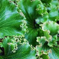 FARFUGIUM jap. 'Crispatum'