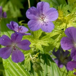 GERANIUM 'Blue Sunrise'