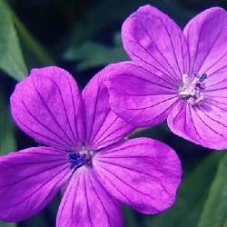 GERANIUM cl. 'Kashmir Purple'