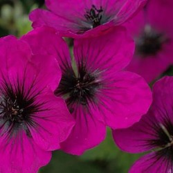 GERANIUM 'Dragon Heart'®