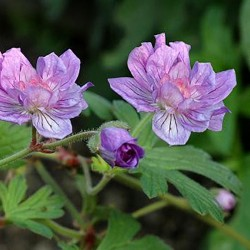 GERANIUM him. 'Birch Double'