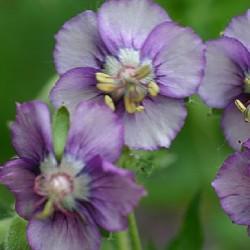 GERANIUM ph. 'Lavender Pinwheel'