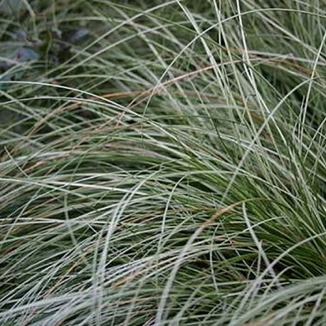 CAREX albula 'Frosted Curl'