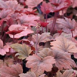 HEUCHERA 'Autumn Leaves'®