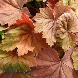 HEUCHERA 'Bronze Beauty'®
