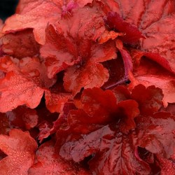HEUCHERA 'Fire Alarm'®