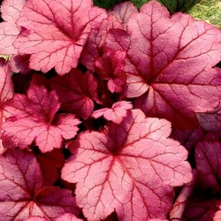 HEUCHERA 'Georgia Plum'®