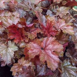 HEUCHERA 'Ginger Snap'®