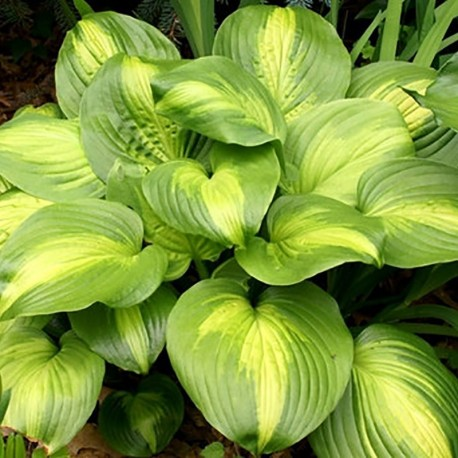 HOSTA 'Cathedral Window'