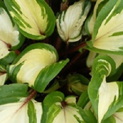 HOSTA 'Raspberry Sundae'®